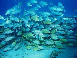 Les poissons rétrécissent à cause du changement climatique ! dans Articles poissons-300x225